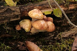 Gymnopilus braendlei 269283.jpg