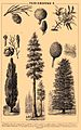 Gymnosperms. Brockhaus and Efron Encyclopedic Dictionary b56 048-2.jpg