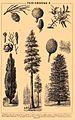 Gymnosperms. Brockhaus and Efron Encyclopedic Dictionary b56 048-2.jpg