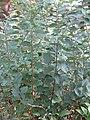 HK 銅鑼灣 CWB 維多利亞公園 Victoria Park plant green 羽狀複葉 pinnata compound leaves October 2017 IX1.jpg