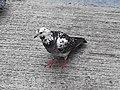 HK SYP 西環 Sai Ying Pun Market 正街 Centre Street 鴿子 pigeons near Third Street April 2020 SS2 14.jpg