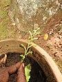 Habenaria fulcifera-3-bsi-yercaud-salem-India.jpg