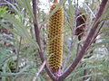 Hairpin Banksia young flower (3413390330).jpg