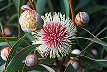 Hakea laurina inflorescences at different stages of maturity