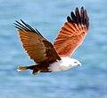 Haliastur indus -Karratha, Pilbara, Western Australia, Australia -flying-8 (8).jpg