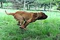 Hameau Jouas bloodhound.jpg