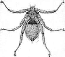 A drawing of a small insect with spider-like legs