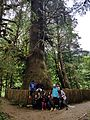 Harris Creek Sitka Spruce Tree.jpg