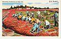 Harvesting Cranberries on Cape Cod (61304).jpg