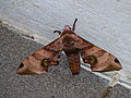 Hawkmoth (Daphnusa ocellaris) (15415448227).jpg
