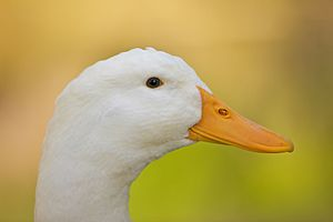 Immagine Head of a white domesticated duck.jpg.