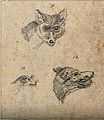 Heads of a fox, a wolf and a weasel. Drawing, c. 1789. Wellcome V0009138EBC.jpg