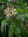 Hedychium villosa P1150001 05.jpg