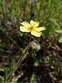 Helianthemum nummularium subsp. tomentosum kz03.jpg