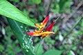 Heliconia psittacorum 24zz.jpg