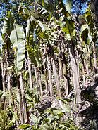 Heligan Banana Plants