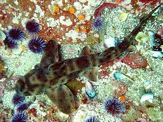 Horn shark - Sea urchins are a favored prey of the horn shark.