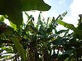 Hf9906Banana plantations Philippinesfvf 01.JPG