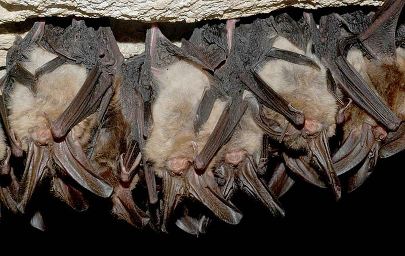 File:Hibernating Virginia big eared bats in cave.jpg