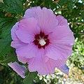 Hibiscus (Hibiscus syriacus).jpg