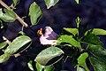 Hibiscus fragilis 0zz.jpg
