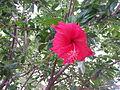 Hibiscus in garden.jpg
