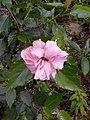 Hibiscus rosa sinensis plenus-1-bsi-yercaud-salem-India.jpg