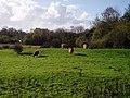 Highland cows - geograph.org.uk - 76335.jpg