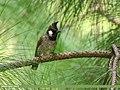Himalayan Bulbul (Pycnonotus leucogenys) (39637765541).jpg