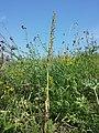 Himantoglossum adriaticum sl46.jpg