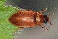 Himbeerkäfer (Byturus ochraceus (SCRIBA)) 3763.JPG