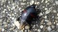 Hister quadrimaculatus 2.png