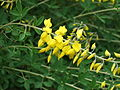 Hohenheim - Cytisus nigricans 02.jpg