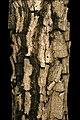 Holarrhena pubescens 1DS-II 2-6011.jpg