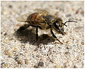 Honey Bee-10-24-09.jpg