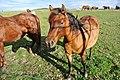 Horses near Bavorov - panoramio (1).jpg