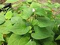 Houttuynia cordata Gardenology.org-IMG 7658 qsbg11mar.jpg