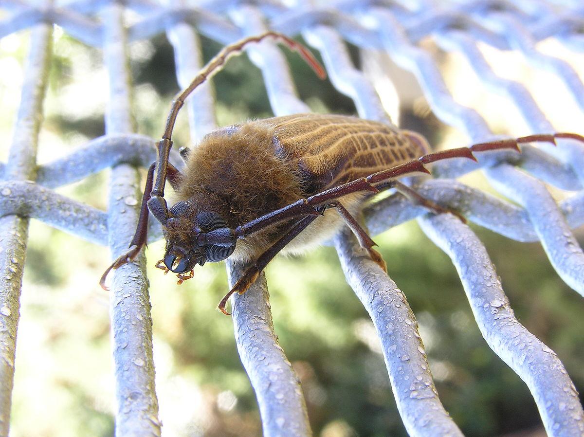 Huhu beetle - Wikipedia