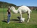 Hulín, koza, bílý velbloud a Wikipedista Jklamo.jpg
