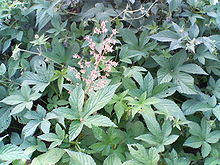 Humulus japonicus - Wikipedia
