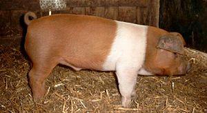 Danish Protest Pig - Danish Protest pig