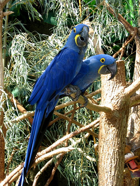 Hyacinch Macaws at the Tennesee Aquarium