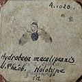 Hydrotaea maculipennis N. THEOBALD (Aix) 01.jpg
