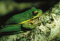 Hyla viridis.jpg