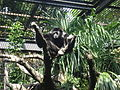 Hylobates lar -Ueno Zoo -Japan-8.jpg