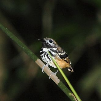 Dot-backed antbird - Male at Apiacás, Mato Grosso state, Brazil