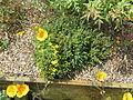 Hypericum aegypticum (14410843492).jpg