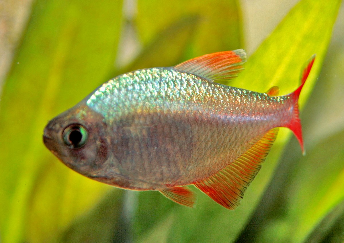 Hyphessobrycon columbianus wikipedia for Tetra acquario