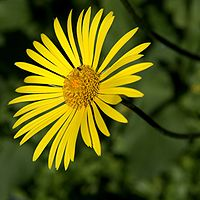 IMG 6235-Doronicum cordifolium.jpg