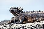 Iguana marina (Amblyrhynchus cristatus), Las Bachas, isla Santa Cruz, islas Galápagos, Ecuador, 2015-07-23, DD 24.jpg